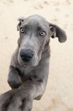 Funny image of a great Dane puppy Stock Photography