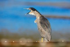 Funny image in nature, bird with open bill. Sea bird. Heron sitting on the rock cost. Heron sitting on the stone. Night heron, Nyc royalty free stock photo