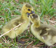 Funny image with two young cute chicks of the Canada geese in love Royalty Free Stock Image