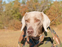 Funny image of a Weimaraner dog wearing a camo shi stock images