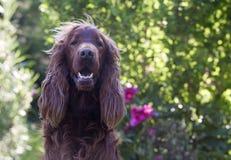 Funny Irish Setter. Beautiful young Irish Setter looking in the camera royalty free stock image