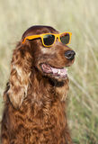 Funny Irish Setter dog Royalty Free Stock Photography