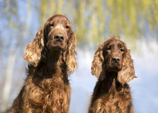 Funny Irish Setter dogs Royalty Free Stock Photos