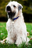 Funny irish soft coated wheaten terrier. Sit on grass Stock Photos