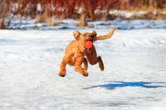 Funny Irish Terrier grabs the ball on the fly in winter Royalty Free Stock Photos