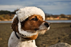 Funny Jack Russel Terrier Dog. A dog with a winter hat Stock Photography
