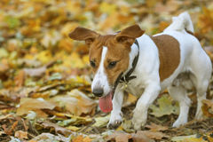 Funny Jack Russel terrier Stock Image