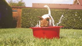 Funny Jack Russell terrier cools off in a bowl of water on a hot day stock video footage