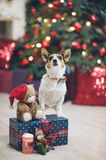 Funny jack russell terrier dog pet in bow tie with box of gifts stock image