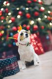 Funny jack russell terrier dog in santa hat in christmas decorat stock images