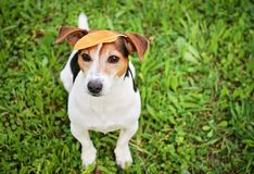 Funny Jack Russell Terrier With Leaf on Head. Adorable Funny Dog Jack Russell Terrier Sitting on the Grass With Big Yellow Ficus`s Leaf on Head. Seasons Change royalty free stock image
