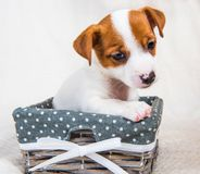 Funny Jack Russell Terrier puppy dog in the basket royalty free stock photo