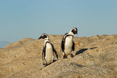 Funny Jackass Penguins. Accessible jackass penguin colony near Cape Town Royalty Free Stock Photo