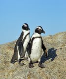 Funny Jackass Penguins. Accessible jackass penguin colony near Cape Town Stock Photos