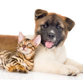 Funny japanese Akita inu puppy dog lying with small bengal cat. isolated on white.  Royalty Free Stock Photos