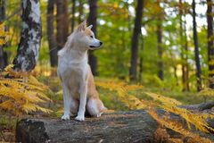 Funny Japanese Dog Akita Inu puppy in autumn forest.  Royalty Free Stock Images