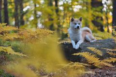 Funny Japanese Dog Akita Inu puppy in autumn forest.  Royalty Free Stock Photo