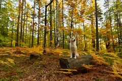 Funny Japanese Dog Akita Inu puppy in autumn forest.  Stock Photos