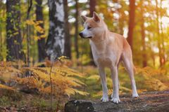 Funny Japanese Dog Akita Inu puppy in autumn forest.  Royalty Free Stock Photos