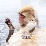 Funny japanese snow monkey looking on its paw in a hot spring. Nagano Prefecture, Japan