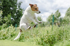 Funny jump of cute flying Jack Russell Terrier dog Stock Photo