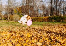 Funny jump of dog catching pink flying disc. Jack Russell Terrier playing at autumn lawn in park Stock Photography
