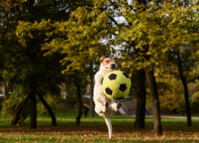 Funny jump with soccer ball. Jack Russell Terrier pet playing at fall park Royalty Free Stock Photos
