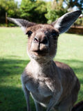 Funny kangaroo Stock Photos