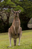 Funny Kangaroo Royalty Free Stock Photos