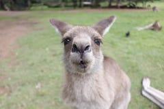 Funny Kangaroo Stock Photography