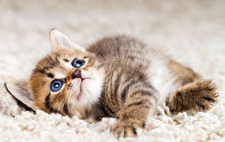 Funny kitten Royalty Free Stock Image