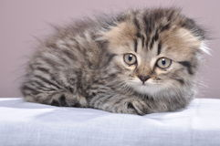 Funny kitten Royalty Free Stock Photography