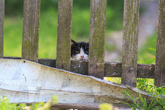 Funny  kitten, anxiously peeping from behind an old wooden fence. Little kitten, anxiously peeping from behind an old wooden fence Stock Image