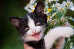 Funny kitten with  bouquet of daisies Stock Photography