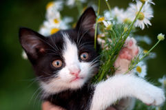 Funny kitten with  bouquet of daisies Stock Photos