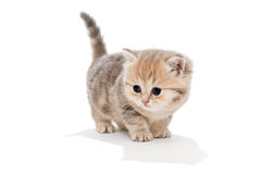 Funny kitten  breed British marble Stock Photography