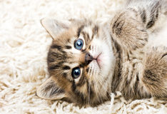 Funny kitten in carpet Royalty Free Stock Photography
