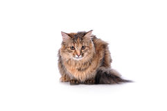 Funny kitten cat isolated on white Royalty Free Stock Images