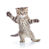 Funny kitten cat standing or dancing isolated. On white royalty free stock images