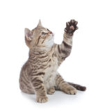 Funny kitten cat trying to catch something by paw and looking up isolated Royalty Free Stock Images