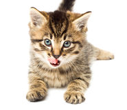 Funny kitten isolate in white Stock Images