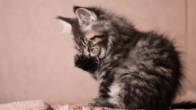 Funny kitten licks paw and washes. Funny Maine coon cat licks paw and washes his face at home. Adorable tabby kitten 2 months old close up. Beautiful kitty stock footage
