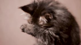 Funny kitten licks paw and washes. Funny Maine coon cat licks paw and washes his face at home. Adorable tabby kitten 2 months old close up. Beautiful kitty stock video