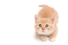 Funny kitten looking up Royalty Free Stock Image