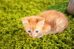 Funny kitten lying on green carpet indoors stock photography
