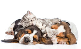 Funny kitten lying on the puppies basset hound. isolated. On white royalty free stock image