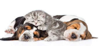 Funny kitten lying on the puppies basset hound. isolated on white Royalty Free Stock Images