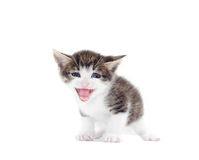 Funny kitten mewing Royalty Free Stock Photos