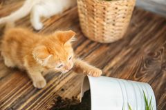 Funny kitten and overturned pot with soil indoors stock image