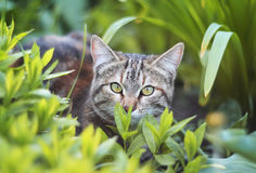 Funny  kitten peeking out of green grass. Funny tabby kitten peeking out of green grass Royalty Free Stock Photos